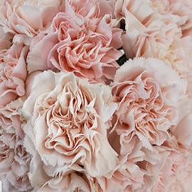 Pink Carnation (1 stem)