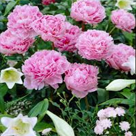 Light Pink Peonies (1 stem)