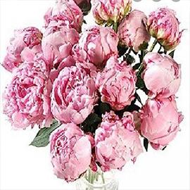 Pink Peonies (1 stem)