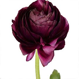 Red_Ranunculus (1 stem)