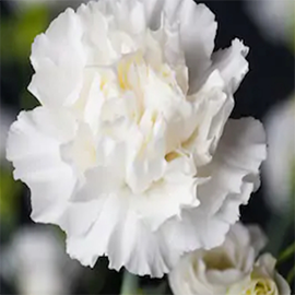 White Carnation (1 stem)