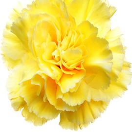 Yellow Carnation (1 Stem)