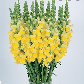 Yellow Snapdragon (1 stem)